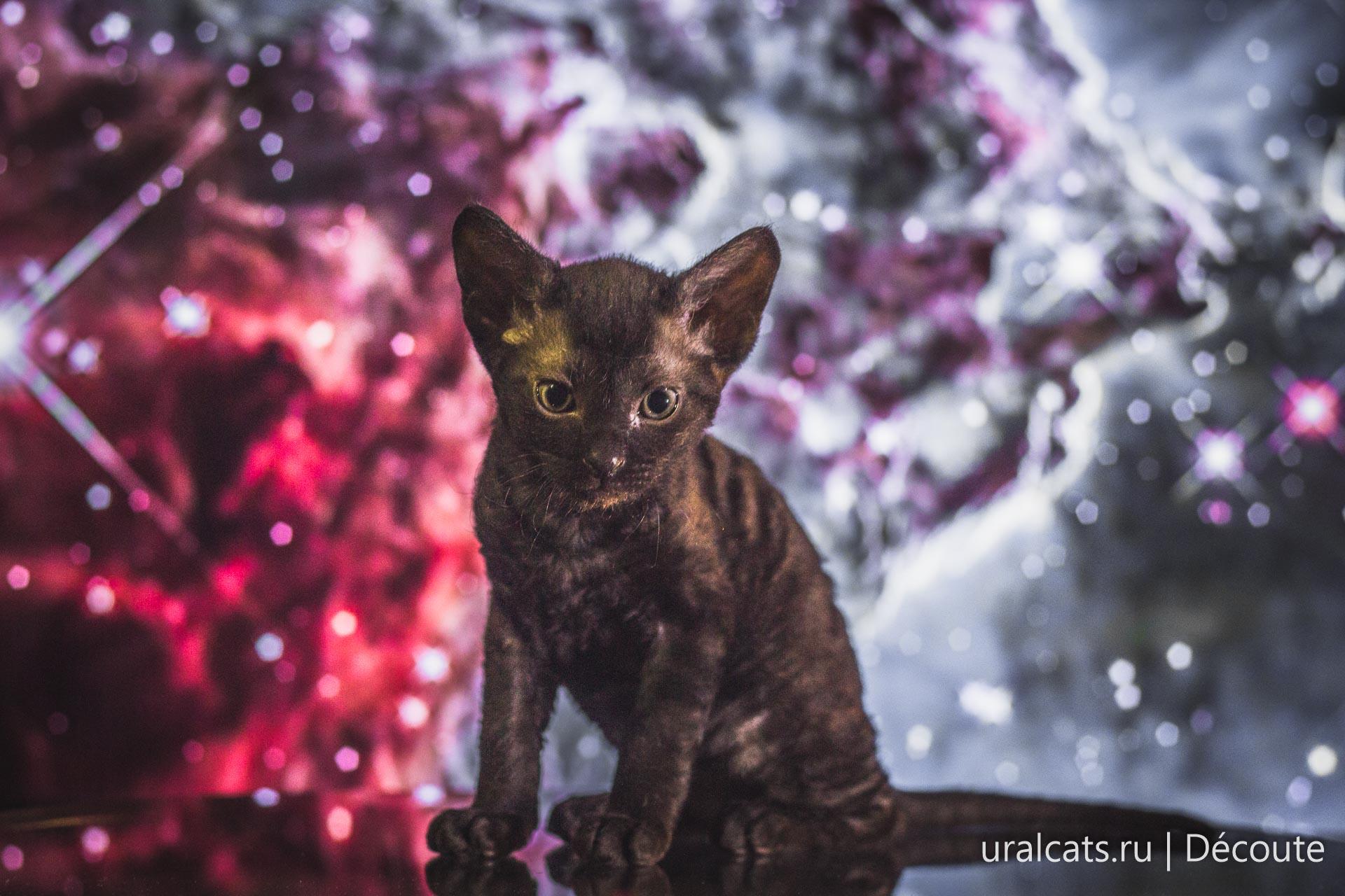 Ural rex kitten
